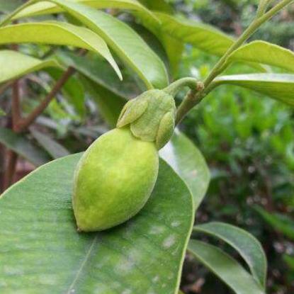 白木香叶醇提取物 来自药用植物沉香树