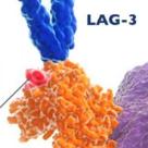 免疫检查点抑制剂LAG-3近期研究进展