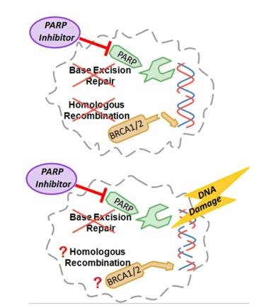 PARP抑制剂作用机制